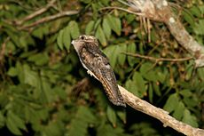 Northern Potoo (Nyctibius jamaicensis).jpg