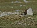 Northern Wheatear (Oenanthe oenanthe) (28181034066).jpg