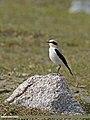 Northern Wheatear (Oenanthe oenanthe) (28715575000).jpg