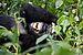 Nshongi Gorilla Group-3, by Justin Norton.jpg