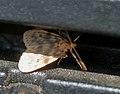 Nudariina species from Noctuidae W IMG 3442.jpg