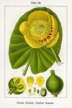 Deutschlands flora in abbildungen 1796 5 buch for Gelbe tafeln