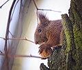 Nutty squirrel (40921016895).jpg