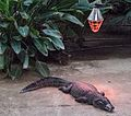 Nyíregyháza Zoo - Caiman yacare.jpg