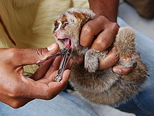 A small, young slow loris is gripped by its limbs while its front teeth are cut with a fingernail cutter