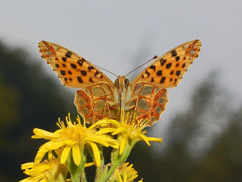 File:Nymphalidae - Issoria lathonia.JPG