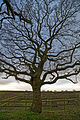 Oak at Stapleford Tawney, Essex, England 1.jpg