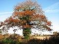 Oak growing beside farm track - geograph.org.uk - 1050328.jpg