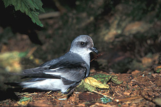 Northern storm petrel - Unusually for the Hydrobatidae, the fork-tailed storm petrel has an all grey plumage.