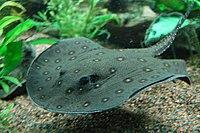 Ocellate river stingray, Boston Aquarium