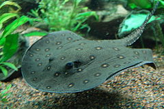 Ocellate river stingray, Boston Aquarium.jpg