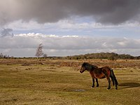 Ocknell Plain, New Forest - geograph.org.uk - 123666.jpg