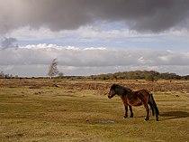 Ocknell Plain, New Forest - geograph.org.uk - 123666.jpg