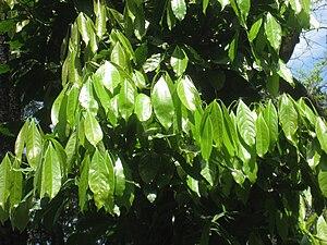 Ocotea odorifera - Image: Ocotea odorifera Jardim Botânico de São Paulo IMG 0330