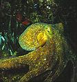 Octopus vulgaris Cuvier, 1797 .jpg