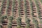 Olive trees orchard in Karaisalı, Adana 2016 02-2.jpg