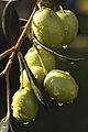 Olives (UOVO PICCIONE) Cl J Weber (10) (22754126657).jpg