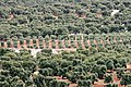 Olivi tra Ostuni e Marina di Ostuni - panoramio.jpg