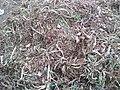 Onion harvest ian aTamilnadu.jpg