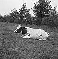 Ontginning, vee in de weide, algemene beelden, turfsteekreportage, koeien, Bestanddeelnr 160-0082.jpg