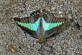 Open wing position of Graphium sarpedon Linnaeus, 1758 – Common Bluebottle WLB DSC 1183.jpg