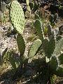 Opuntia streptacantha 1c.JPG
