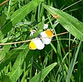 Orange-tip at Woodcote - geograph.org.uk - 816189.jpg