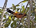 Orange Hooded oriole (4368216608).jpg