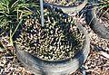 Orbea variegata - Aasblom - edible succulent in Cape Town garden 3.jpg