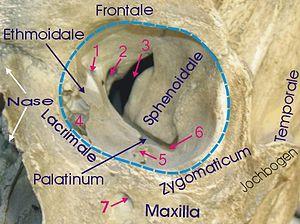 Infraorbital foramen - Image: Orbita mensch