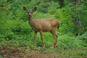 Central Oregon Coast Range - A black-tailed deer.
