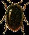 Orthoperus atomus Jacobson.png
