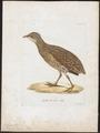 Ortygometra crex - 1800-1812 - Print - Iconographia Zoologica - Special Collections University of Amsterdam - UBA01 IZ17500083.tif