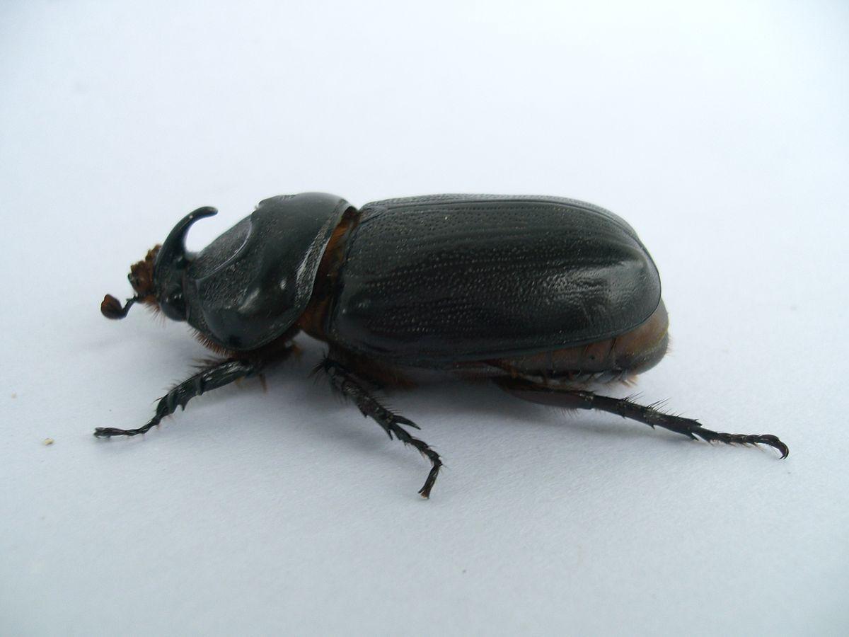 Asiatic rhinoceros beetle - Wikipedia