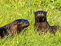 Otters at Lake Woodruff - Flickr - Andrea Westmoreland (5).jpg