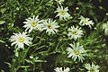 Ox-eye daisy (2000). (14218020278).jpg