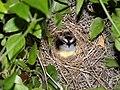 Pássaro no ninho - panoramio.jpg