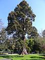 P1320117 Angers arboretum GA arbre x rwk.jpg