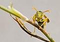 PN del Garraf - Retrato de una Avispa - Wasp portrait (4009438850).jpg