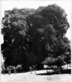 PSM V73 D397 The big tree of tule.png