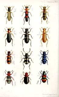Cleridae Checkered beetles