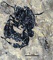 Pachycondyla petiolosa SMFMEI1427.jpg
