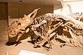 Pachyrhinosaurus lakustai Tyrrell.jpg