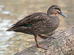 Pacific Black Duck (Anas superciliosa) RWD2.jpg
