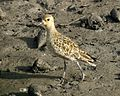 Pacific Golden Plover (Pluvialis fulva) - Flickr - Lip Kee (3).jpg