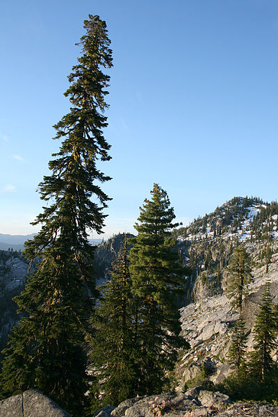 File:Pacific silver fir and English Peak.jpg