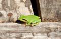 Pacific tree frog.webp