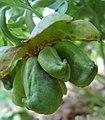 Paeonia brownii green fruits.jpg