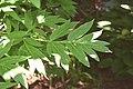 Paeonia delavayi in Dunedin Botanic Garden.jpg