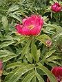 Paeonia officinalis 01.JPG